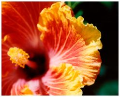 Yellow Hibiscus by JordanWalker