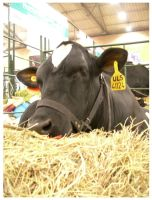 cow resting by tomegatherion