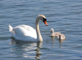 Mother Swan with kids by Pajunen