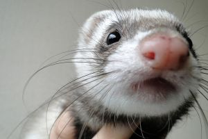 Ferret stock 9 by Dingelientje-stock