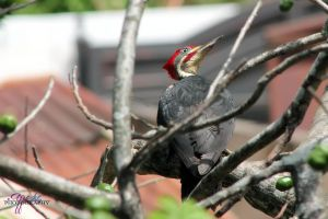 Lineated woodpecker by AppleLily