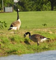 Canadian Geese by Musicalcupcake93