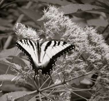 Colorless Butterfly by Pandion-18