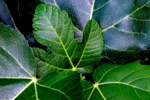 Fig leaves by Austinii