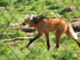 Maned Wolf 04 by Axy-stock