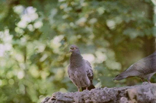 Pigeon by Lauriine