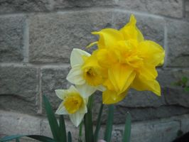 Family of Daffodils by Lucinda-Emma