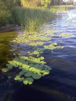 lily pads 1 by kingbob24