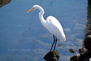 Greater Egret by jdrainville