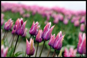 Tulip Town II by davidmoakes
