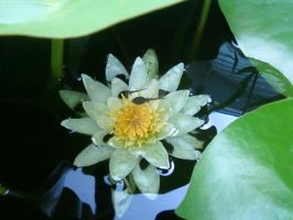 Water Lilly with Tadpoles by ang3lkist