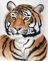 Colored Pencil Bengal Tiger by OnTheMountainTop