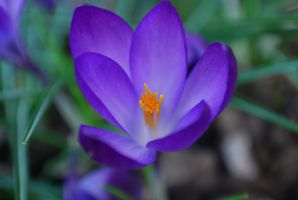 crocus by GrnDrgn