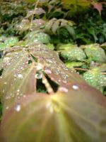Rain Drops on Leaves 05 by Tech-Dave