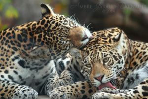 Jaguar Sisters Grooming I by darkcalypso