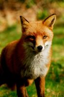 Foxy Lady by Shadow-and-Flame-86