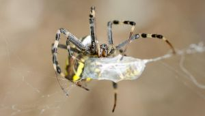 Wasp Spider by Spiteful-Spirit
