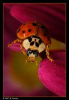Ladybug on Flower by mplonsky
