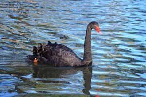 Black swan by iskarlata