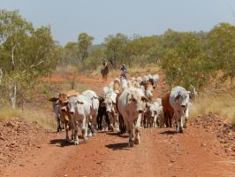 Mustering a station paddock by LilSunnyGirl