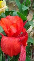 Red Canna by TheBeautyKiller666