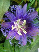 passionflower plant stock by thiselectricheart