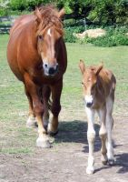08 Suffolk Punch Filly + Mare by chaotezy