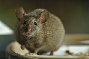 Another mouse by andabata