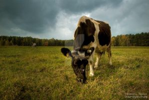 The Cow by Alexandra35