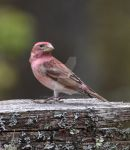 Purple Finch by IdolRebel