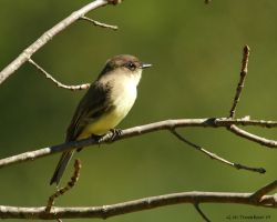 Eastern Phoebe by natureguy