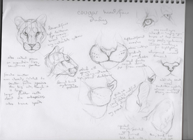 Cougar Head, Face Study by ChachiTonks