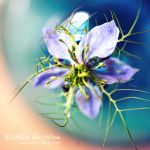 Love In A Mist by kim-e-sens