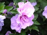 Rose of Sharon 2 by Cailum