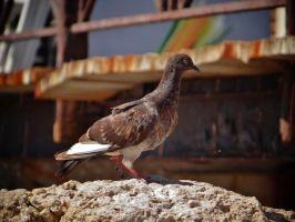 brown pigeon by BL00DYSunflowers