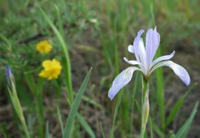 Wild Iris, Rocky Mountain National Park by PamplemousseCeil