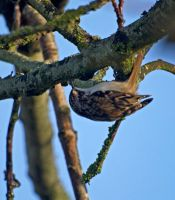 Tree creeper by piglet365