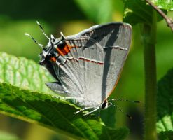 ....Gray Hairstreak., by duggiehoo