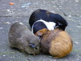 Guinea Pigs by Tasastock