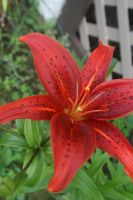 red lilly by toni4bologna
