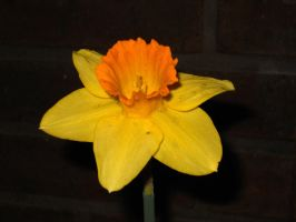Bright Daffodil by TheLimeTangerine