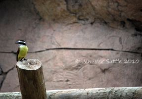 Great Kiskadee by jayshree