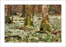 Snowdrops in Bridgend by Rajmund67