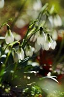 Snowdrops by George---Kirk