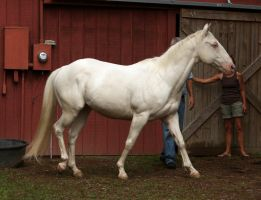 cremello stallion 7 by venomxbaby