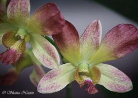 Orchids 02 by silenced-revelation