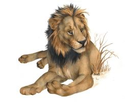 African Lion by Seaff