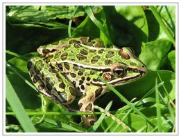 Frog by picworth1000wrds