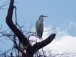 Great White Heron by shibori78