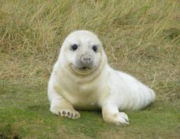 Donna Nook Seal 14 by Queenselphie